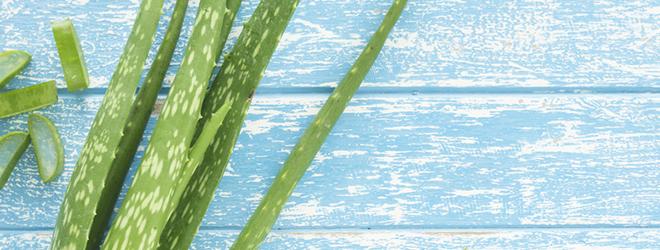 Aloe Vera: Als Pflanze auf der Fensterbank, als Saft in der Apotheke oder als Gel in der Drogerie