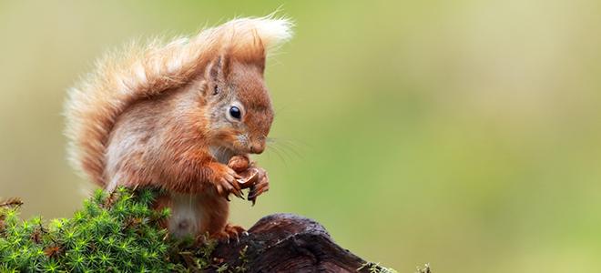 Eichhörnchen knabbert an einer Nuss