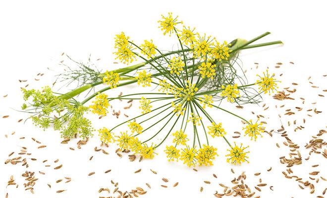 Fenchel Samen und Blüte