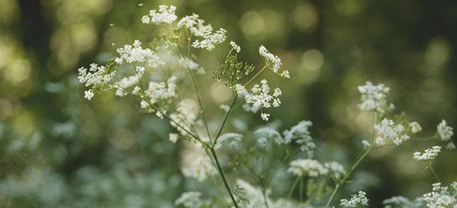 Die Heilpflanze Anis hilft u.a. bei festsitzendem Husten.