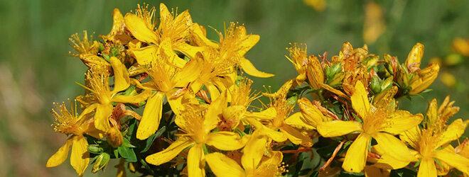 Johanniskraut wird in der Pflanzenheilkunde gerne verwendet.