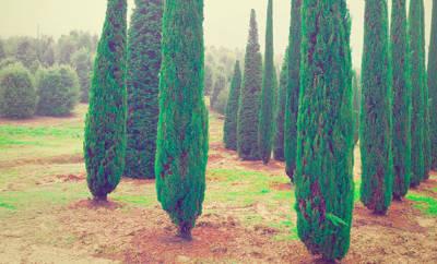 Heilpflanze Zypresse