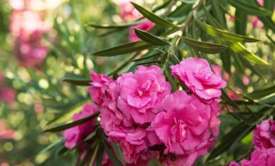 Oleander ist giftig, wird aber auch als Heilpflanze genutzt.