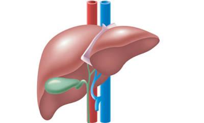 Leber und Gallenblase
