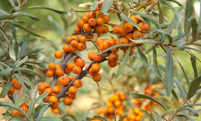 Orange Beeren an einem Strauch