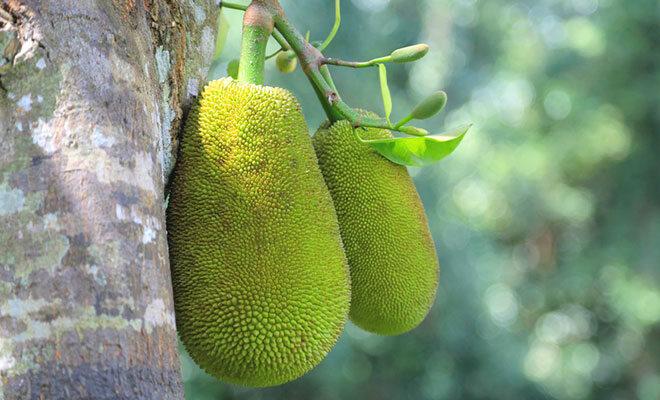 Die Jackfrucht kann bis zu 35 Kilogramm schwer werden und wächst direkt am Baumstamm.