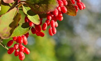 Reife Berberitzen-Beeren, die am Baum hängen.