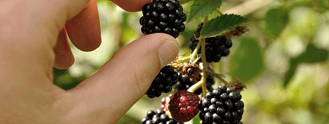 Reif sind nur die schwarzblauen Beeren.