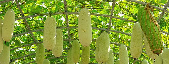 Zucchini wächst