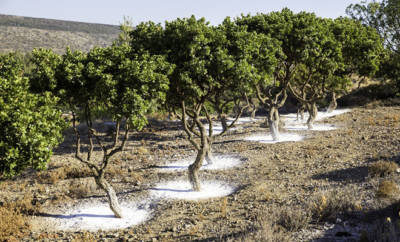 Mastixstäucher bzw. -bäumchen in Chios