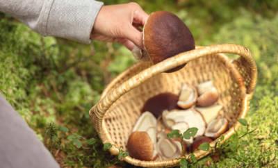 Gesammelte Pilze im Korb.