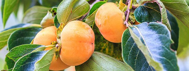 Kakifrüchte am Baum
