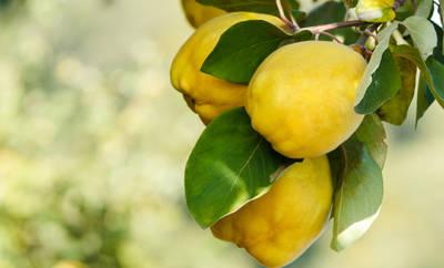 Ausschnitt Quittenbaum mit reifen Früchten.