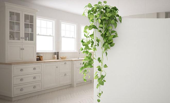 Grüner Efeu, der von einem Raumtrenner aus eine Wand hinunterragt.