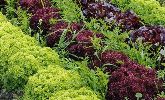 Mehrere verschiedenartige Salatköpfe auf einem Feld.