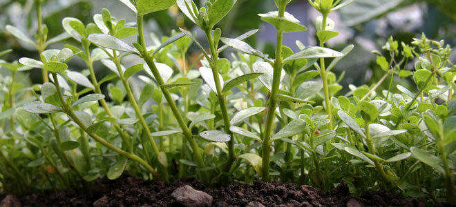 Frischer Portulak im Gartenbeet: Portulak können Sie leicht selbst anpflanzen.