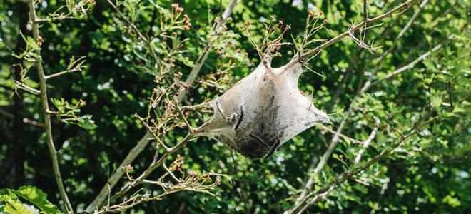 Ein Netz mit Raupen des Eichenprozessionsspinners.