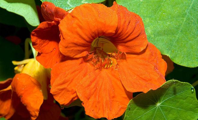 Die rote, essbare Blüte einer Kapuzinerkresse.