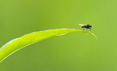 Eine Kriebelmücke sitzt auf einem Blatt.