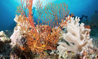 Sangokorallen im Meeresriff.