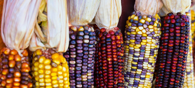 Verschiedene Maissorten in bunten Farben