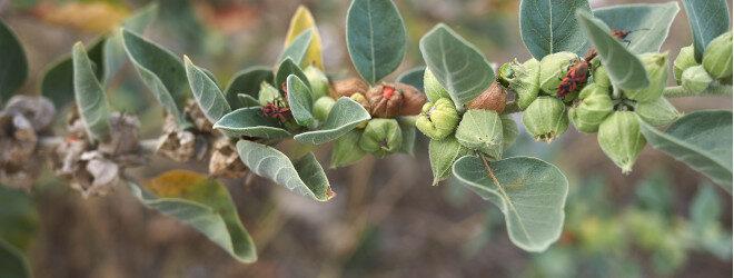 Ashwagandha-Zweig mit Blättern und Früchten