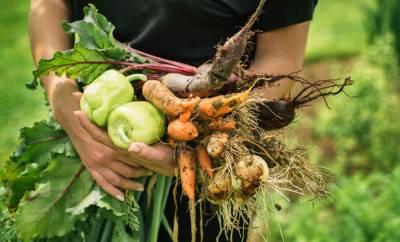 Ein Bauer erntet biodynamisch angebautes Gemüse