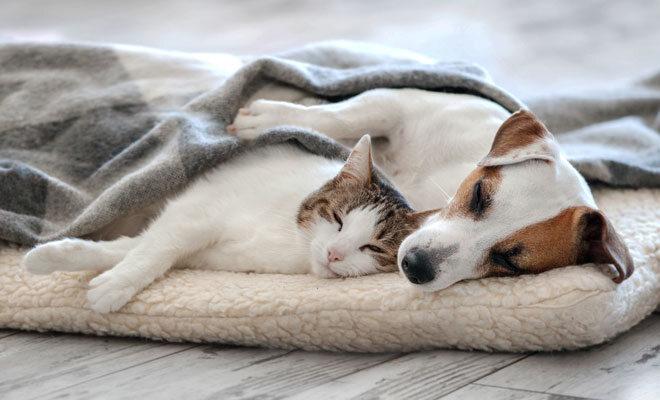 Eine Hauskatze und ein Jack-Russell-Terrier schlafen auf einem Kissen