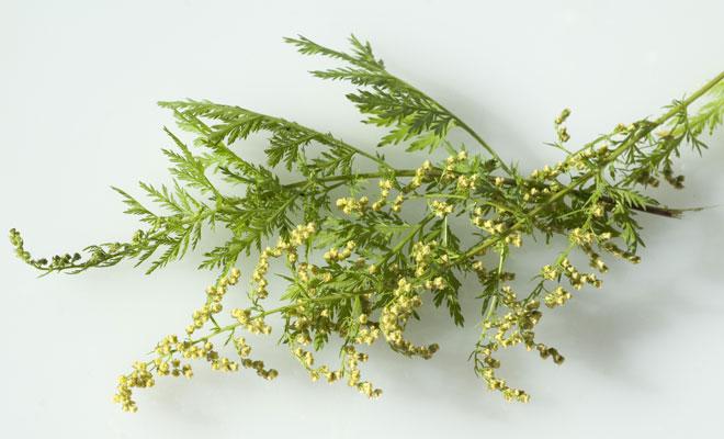 Artemisia annua: einjähriger Beifuß